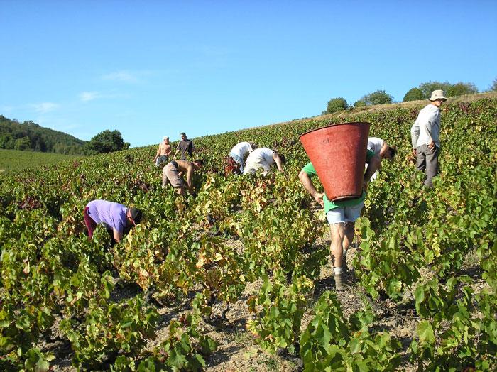 Grape picking work